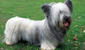 10 Small Guard Dog Breeds That Get The Job Done Without
