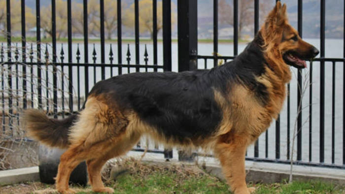 King Shepherd Vs. German Shepherd – Which One is Better?