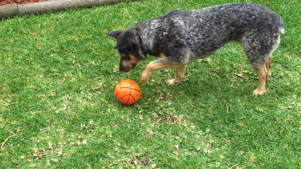 best toys for blue heelers