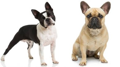 boston terrier vs french bulldog